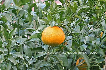 柑橘 はるみ はるみみかん/ハルミ(柑橘):旬の果物百科
