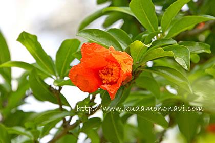 ザクロ(花)