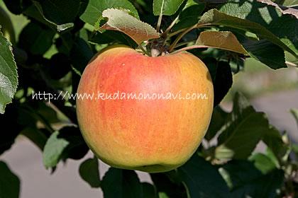 名 りんご ぐんま 月 ぐんま名月(青森県産)りんご通販は三浦りんご園